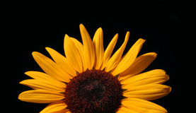 Sunflower Over Black. With room for text on top Royalty Free Stock Photo