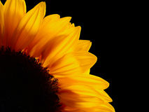 Sunflower over black background Royalty Free Stock Photography