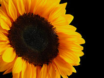 Sunflower over black background Stock Photos