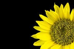 Sunflower over black Stock Photo