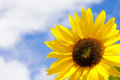 Sunflower Over Blue Sky. Royalty Free Stock Image