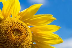Sunflower Over a Blue Sky Royalty Free Stock Photo