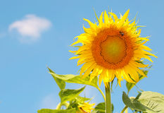 Sunflower over blue sky Stock Images