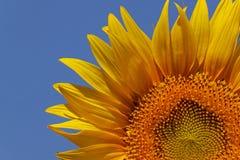 Sunflower over blue sky Stock Image