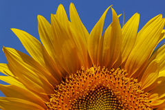 Sunflower over blue sky Royalty Free Stock Images