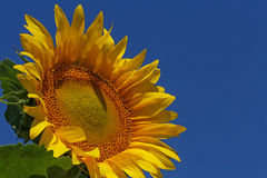 Sunflower over blue sky Stock Photography