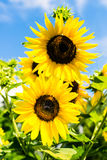 Sunflower over blue sky Royalty Free Stock Photography