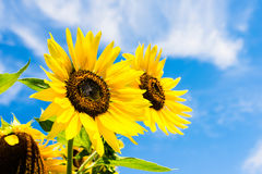 Sunflower over blue sky Royalty Free Stock Image