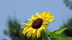 Sunflower over a blue sky stock video footage