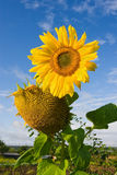 Sunflower over cloudy blue sky Royalty Free Stock Photos