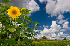 Sunflower over cloudy blue sky Stock Images