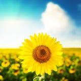 Sunflower over field on blue sky Stock Photo