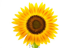 Sunflower over isolate white background. Royalty Free Stock Images