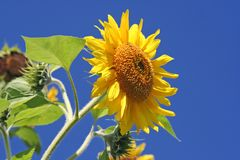 Sunflower over sky Royalty Free Stock Images