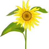 Sunflower over white Royalty Free Stock Photos