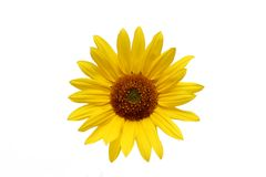 Sunflower over white Royalty Free Stock Photo