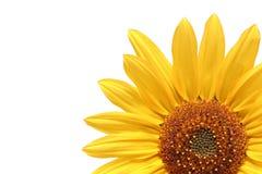 Sunflower over white. Sunflower macro over white Stock Image