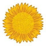 Sunflower over white Stock Photos