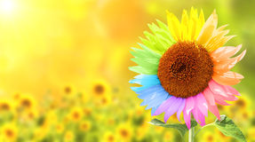 Sunflower painted in different colors Royalty Free Stock Image