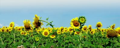 Sunflower panorama. A field full with many sunflowers Stock Images