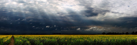 Sunflower panorama Royalty Free Stock Image