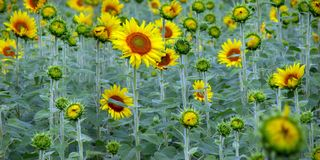 Sunflower Panorama. A Sunflower field in a panoramic view Stock Image