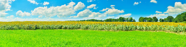 Sunflower panorama Royalty Free Stock Photography
