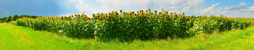 Sunflower panorama Royalty Free Stock Images