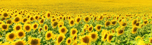 Sunflower panorama Stock Images