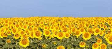 Sunflower panorama, morning light, blue sky Stock Image