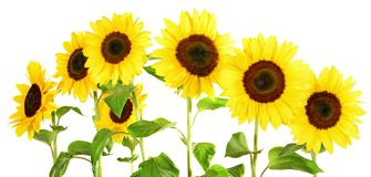 Sunflower Panorama on white Background stock images