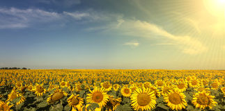 Sunflower Panoramic. With Sun and Lens-flare Stock Photo