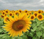 Sunflower. the paria against crowd Royalty Free Stock Images