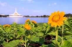 Sunflower in park, Bangkok, Thailand Royalty Free Stock Photography