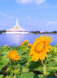 Sunflower in park, Bangkok, Thailand Stock Images