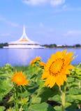 Sunflower in park, Bangkok, Thailand Stock Images