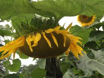 Sunflower in the park in summertime royalty free stock image