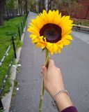 Sunflower in the park royalty free stock photo