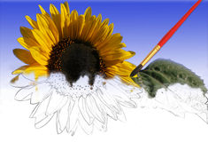 Sunflower partially painted by a paint Stock Images
