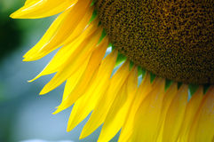 Sunflower particular Royalty Free Stock Photography