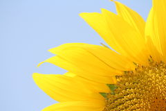 Sunflower with pastel blue sky Royalty Free Stock Photos