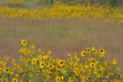 Sunflower patches, tall grass prairie Royalty Free Stock Photo
