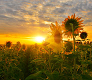 Sunflower path. A path among sunflower fields Royalty Free Stock Images