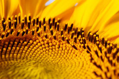 Sunflower pattern macro view. Shallow depth of field, selective focus Royalty Free Stock Photography