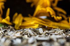 Sunflower peels and blurred sunflowers on the background Royalty Free Stock Photography