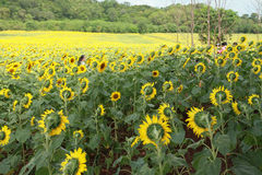Sunflower. People go to the sunflower in the field Royalty Free Stock Photo
