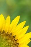 Sunflower petal Stock Photos