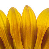 Sunflower petals Stock Photo