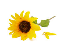 Sunflower and Petals Royalty Free Stock Photos