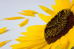 Sunflower and petals Royalty Free Stock Image